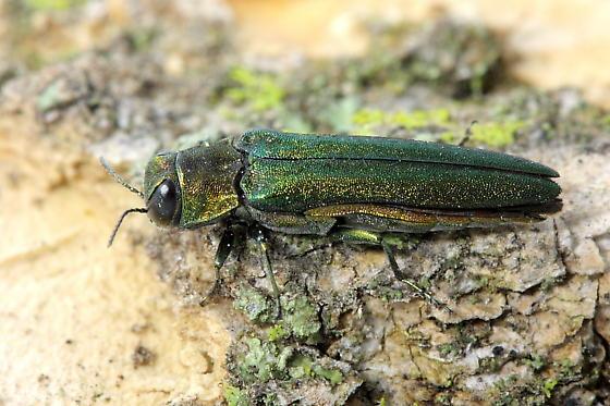 Emerald Ash Borer - Agrilus planipennis