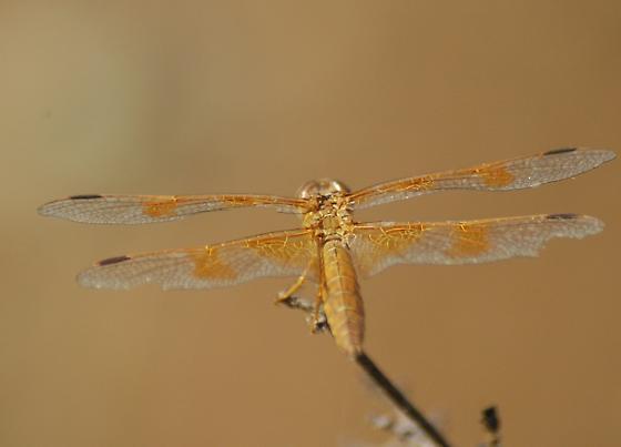 California Dragon 6 - Perithemis intensa - female