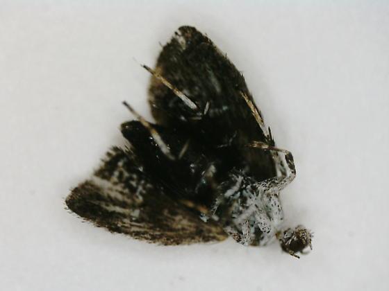 Pond Drive leaf tier on Scutellaria lateriflora D2649 adult 2020 3