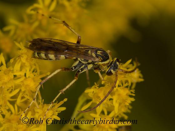 9053330 wasp - Poecilopompilus interruptus