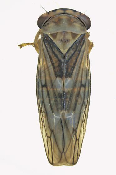 Leafhopper bug - Idiocerus