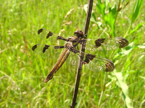 12 Spotted Skimmer - Libellula pulchella - female