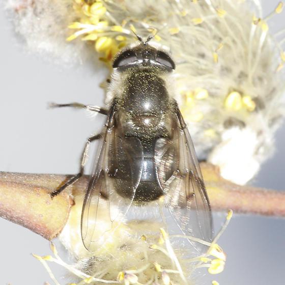Syrphid - Pyritis kincaidii