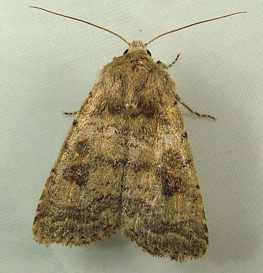 1988 Caradrina morpheus - Mottled Rustic Moth 9653 - Caradrina morpheus