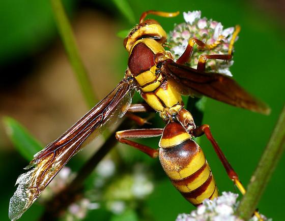 Another wasp - Polistes? - Polistes major - male