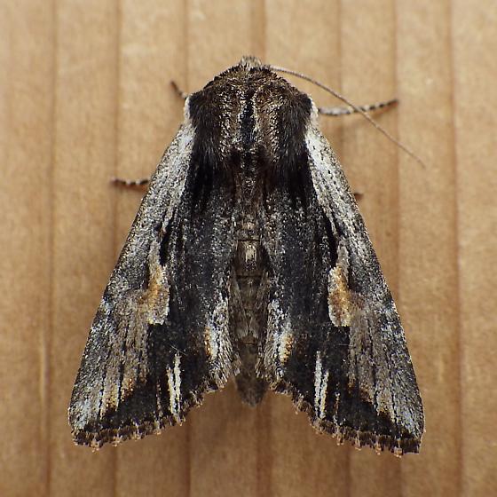 Noctuidae: Morrisonia evicta - Morrisonia evicta