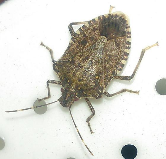 big bug from garden - Halyomorpha halys