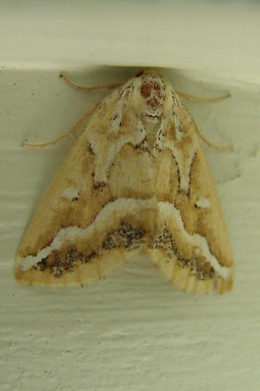 Moth ID - Caripeta angustiorata
