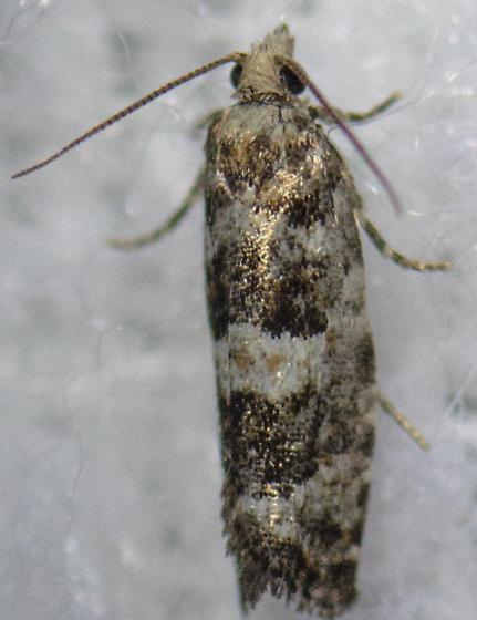 Moth Species please