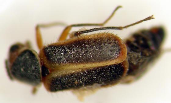 Melyridae - Attalus cinctus