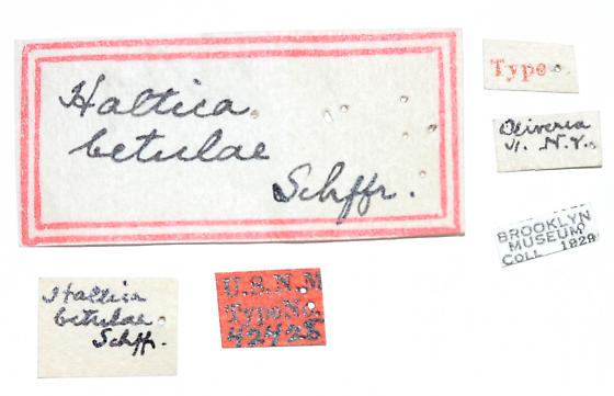 Altica betulae Schaeffer - Altica betulae