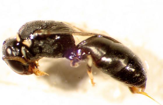 Eupelmidae? - Hylaeus