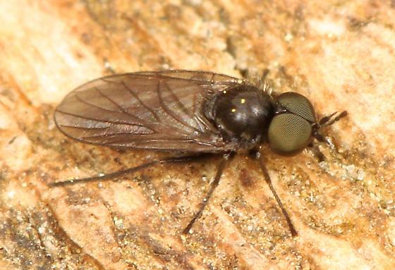 tiny black fly - Bolbomyia