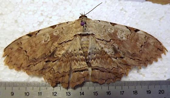 Owl Moth - Thysania zenobia - female