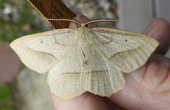 6739 – Euchlaena irraria – Least-marked Euchlaena - Euchlaena irraria - male