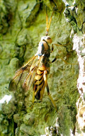 black-and-gold wasp - Ibalia anceps - female
