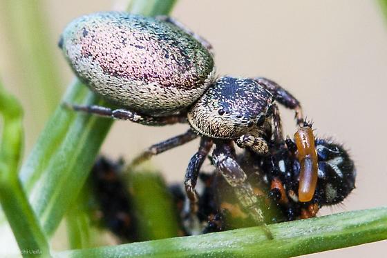 Unknown Jumping Spider Eating Anise Swallowtail Caterpillar - Sassacus papenhoei