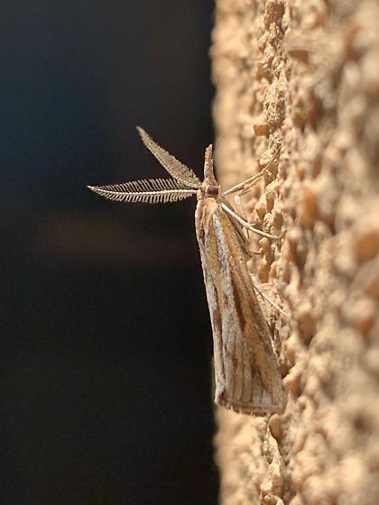 Crambid moth? - Thaumatopsis - male
