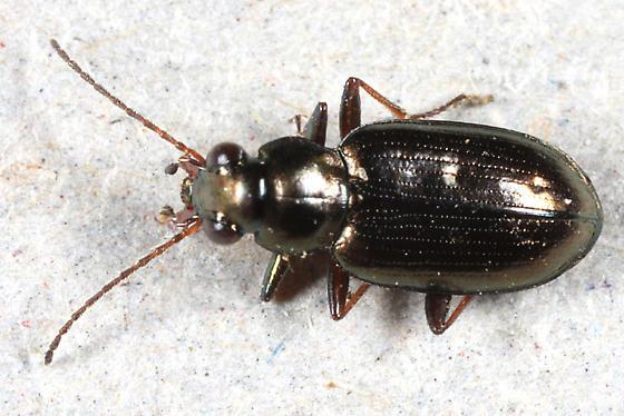 Ground Beetle - Bembidion americanum