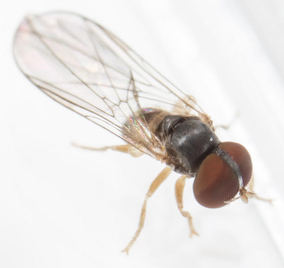 Fly - Chalarus