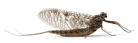 Siphloplecton - female