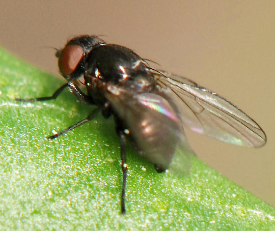 small black fly 2