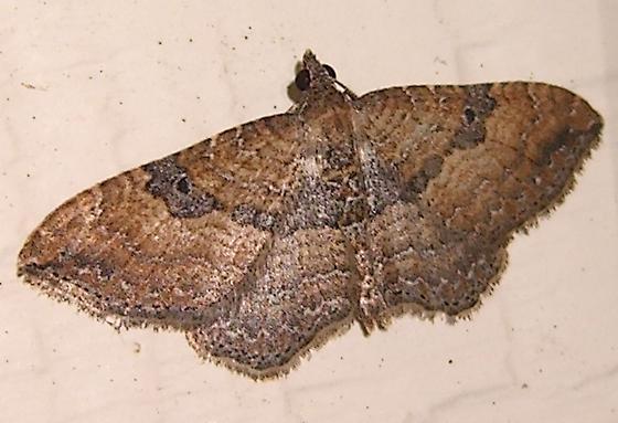 the Gem - Orthonama obstipata