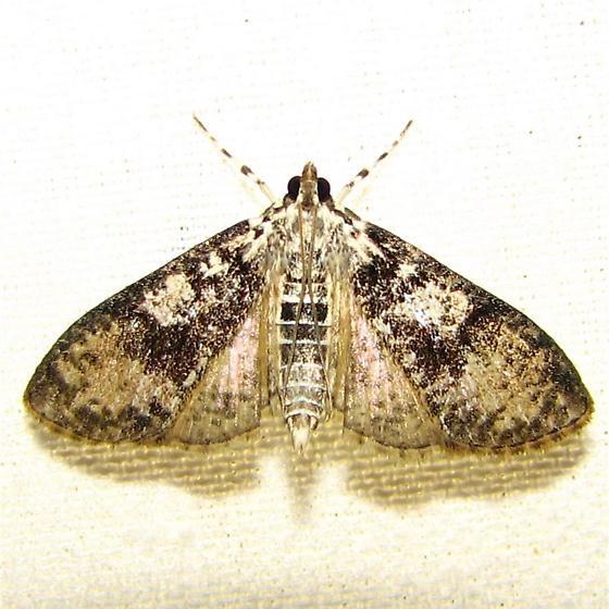 Palpita magniferalis - #5226 - Palpita magniferalis