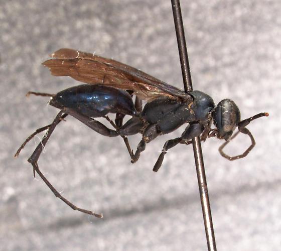 Ageniella euphorbiae (Vier.) - Ageniella euphorbiae - female