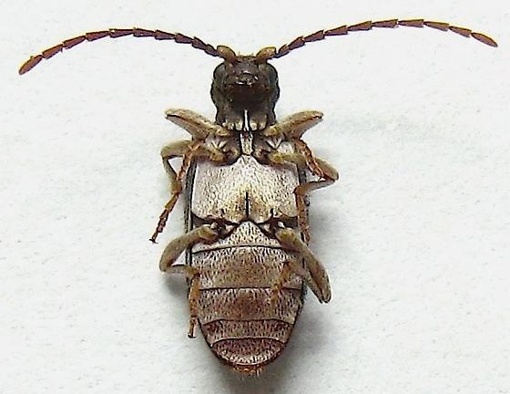 Six-spotted Spider Beetle - Ptinus sexpunctatus