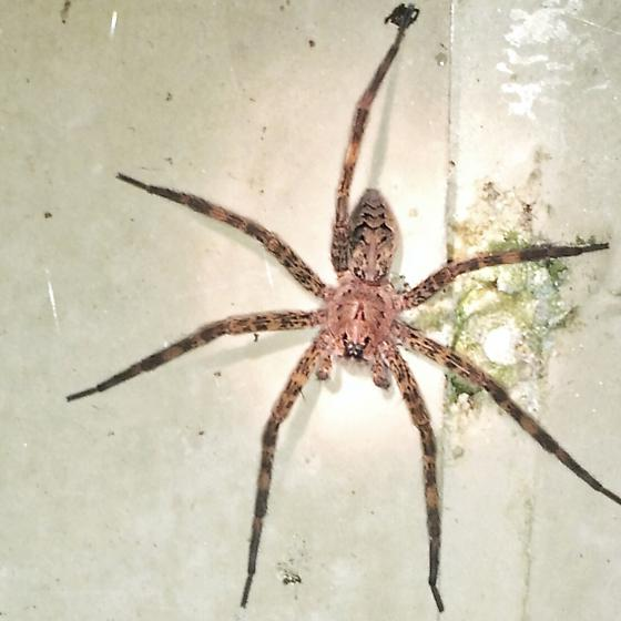 Dolomedes Tenebrosus Dark Fishing Spider