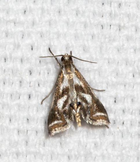 Gathering Moth - Chrysendeton imitabilis