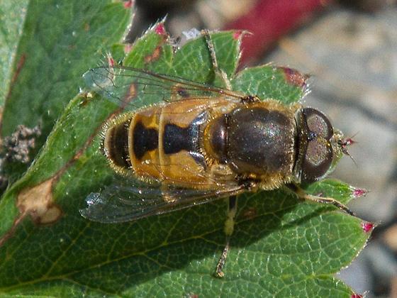 Syrphidae, Eristalis arbustorum? - Eristalis arbustorum