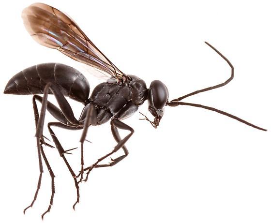Pompilini? - Agenioideus birkmanni - female