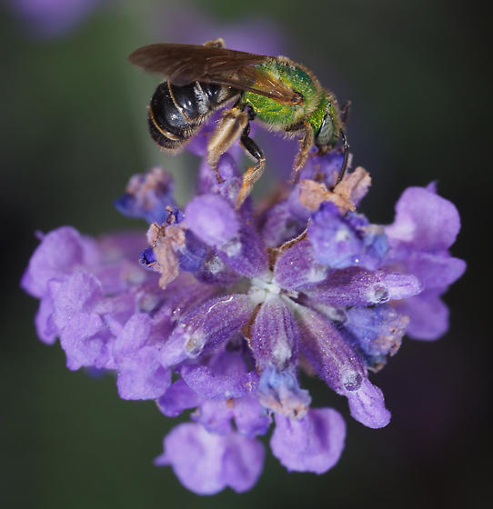 Halictid - Agapostemon virescens