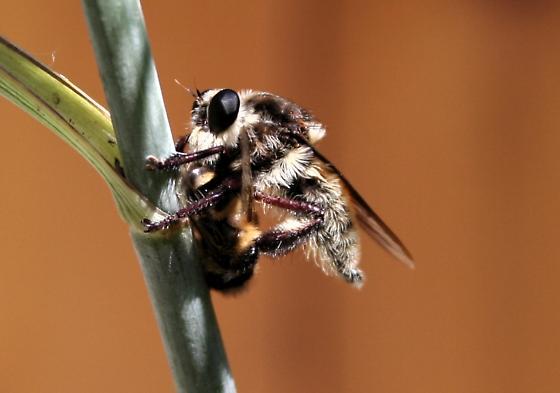 Bee killer. Is it a predatory fly? - Mallophora fautrix