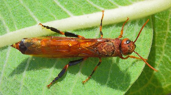 Horntail sp.? - Tremex columba - male