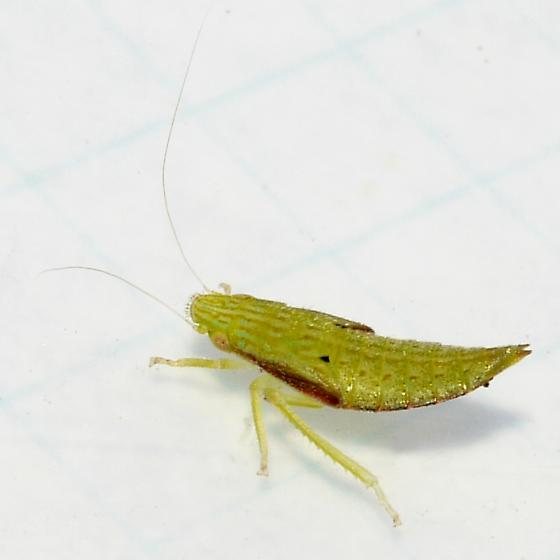 nymph with red border - Gyponana