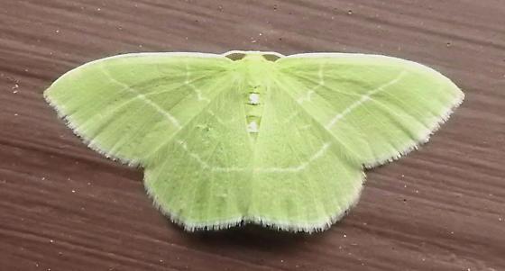 7048 – Nemoria mimosaria – White-Fringed Emerald - Nemoria mimosaria