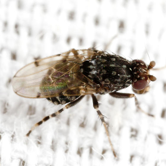 Spotted Fly - Poecilosomella angulata