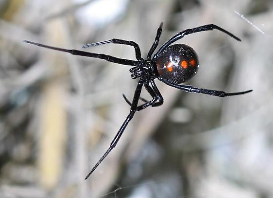 Latrodectus - female