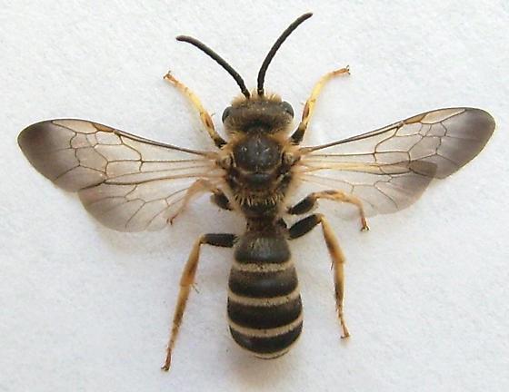 Sweat Bee? - Halictus farinosus - male