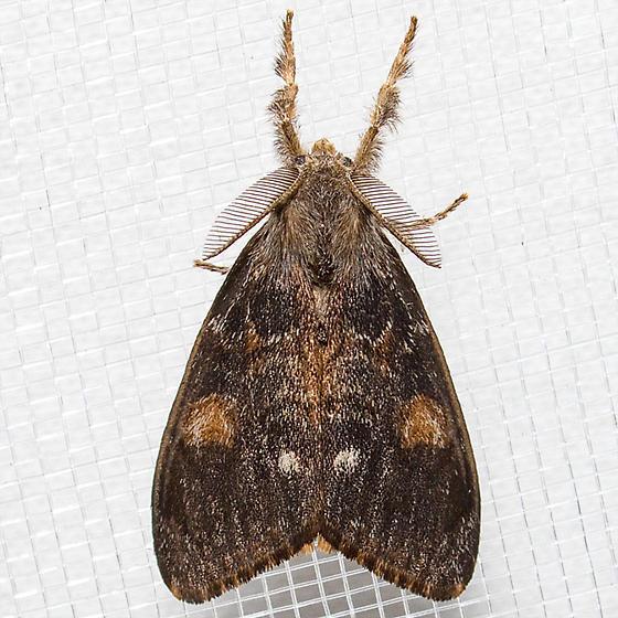 Douglas Fir Tussock - Orgyia pseudotsugata - male