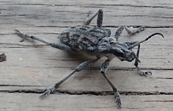 Grey striped big eyed beetle   Rhagium inquisitor. Grey striped big eyed beetle   Rhagium inquisitor   BugGuide Net
