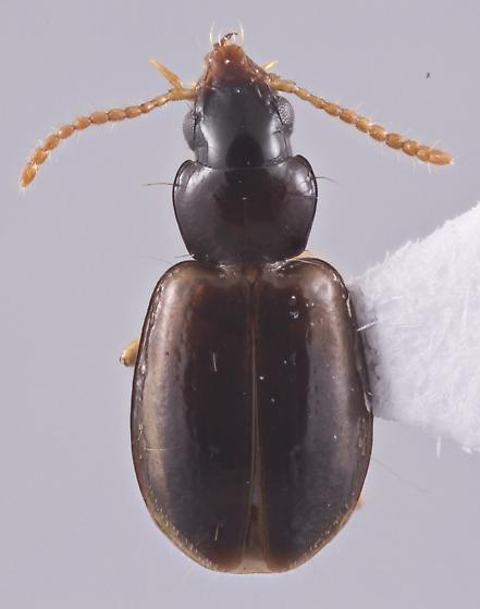 Perigona pallipennis - female