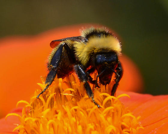 Bumble Bee with distinct, separated abdominal bands - Bombus fervidus