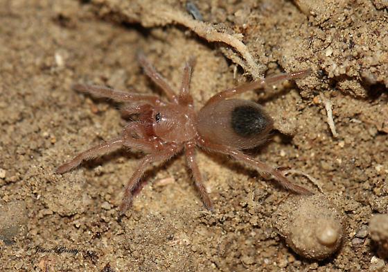Mygalomorph - Juvenile Tarantula maybe? - Aphonopelma