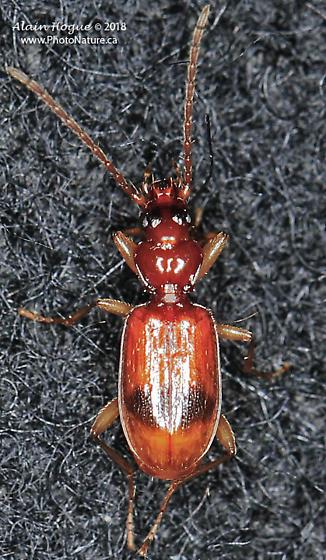 Coleoptera - Blemus discus