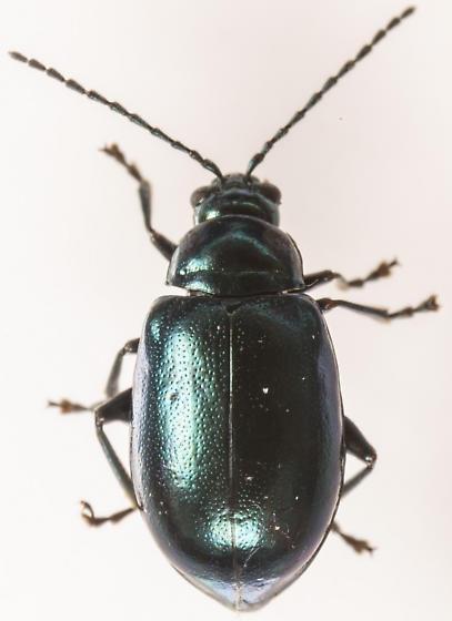 Beetle - Altica chalybea - female