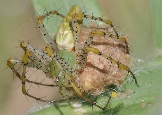 Lynx Spider? - Peucetia viridans